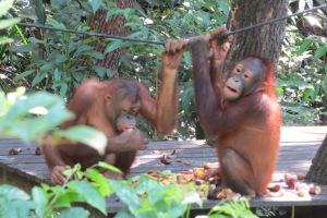 Orangutans.