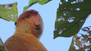 A Probiscus monkey.