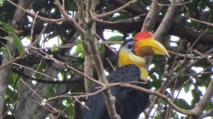 A very colorful Hornbill.