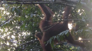 There he is, up in the trees. An Orangutang.