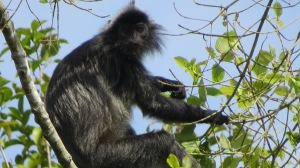 A rare black long tailed monkey.